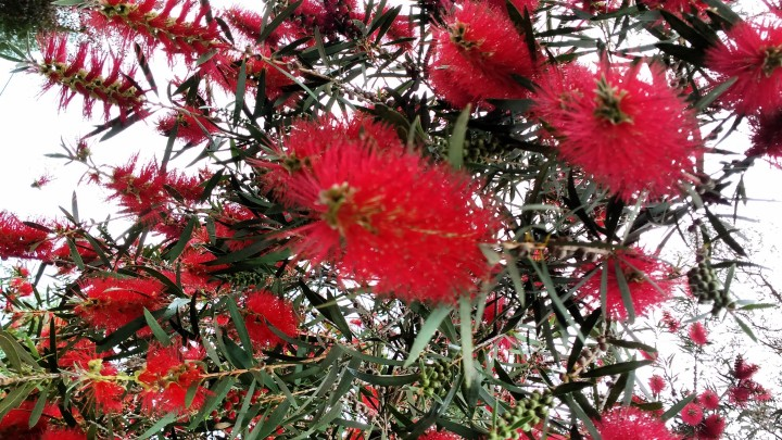 bottlebrush2.jpg