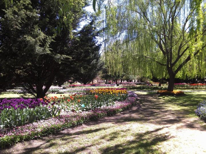 tuliptops2