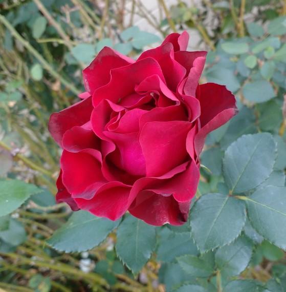 roseyangle