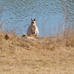 Is this an albino wallaby? It was very pale and shone in the sun.