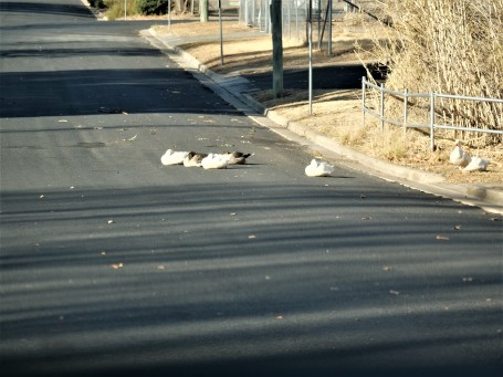 Some geese try to get warm on the road.