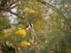 The Blue-faced honeyeater is a regular photo-bomber.