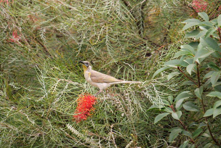littlefriarbird