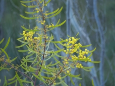Wattle in bloom