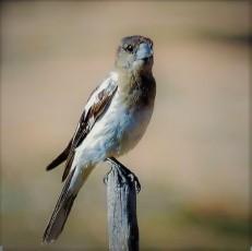 Baby Butcherbird (c)