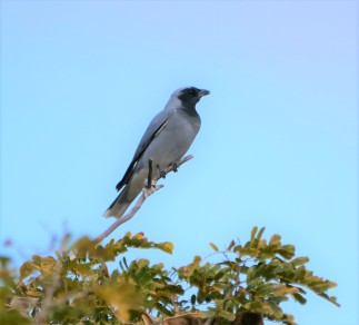 Black-faced Cuckoo Shrike (Coracina novaehollandiae)