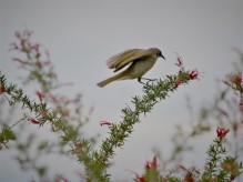 Brown honeyeater? (Lichmera indistincta)