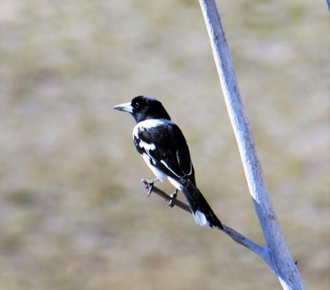 Pied Butcherbird (c)