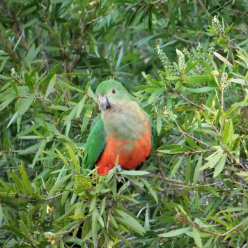 Female King Parrot (Alisterus scapularis)