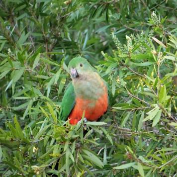 Female King Parrot (Alisterus scapularis)