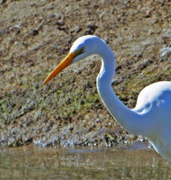 Great Egret Profile