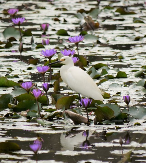 The Little Egret has a black bill..