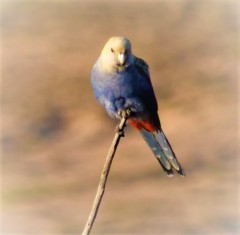 Pale-headed rosella - front 2