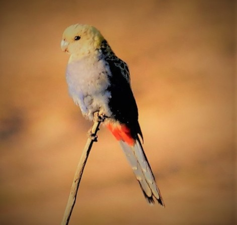 Pale-headed rosella - front