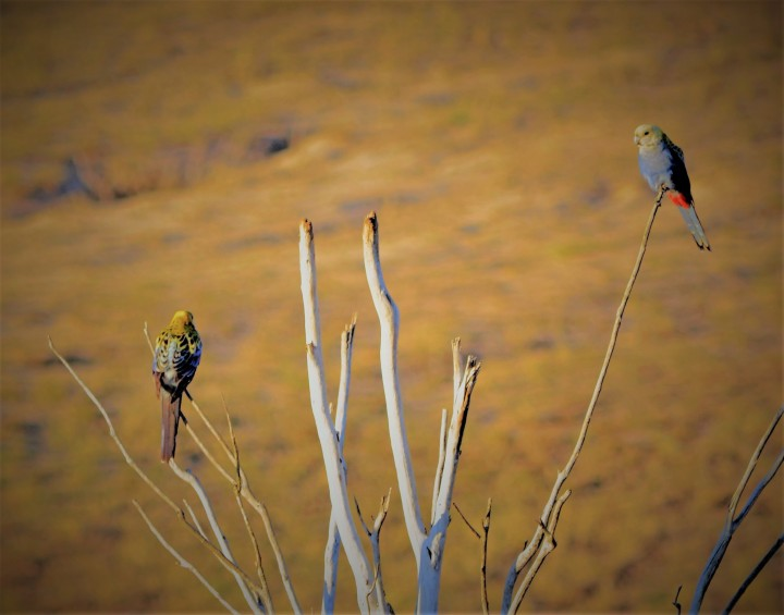 Pale-headed rosellas