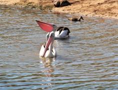 pelicans 1