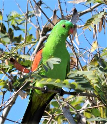 Red-winged Parrot (Aprosmictus erythropterus)