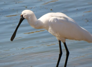 Royal Spoonbill Profile