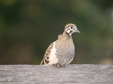 Squatter Pigeon (Geophaps scripta) - listed as vulnerable