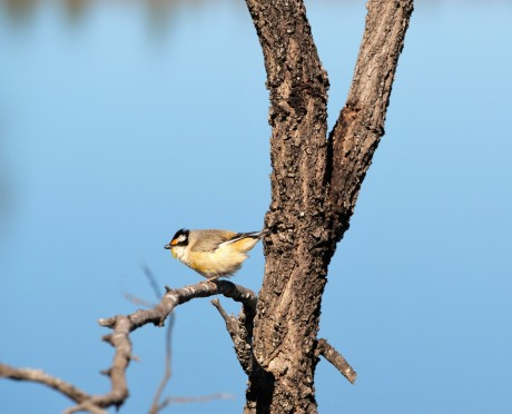 Striated Pardalote - (c) Reflections of an Untidy Mind