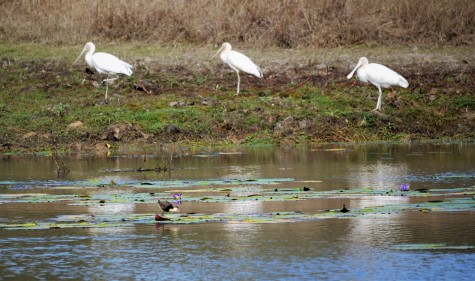 Spoonbills and Jacana