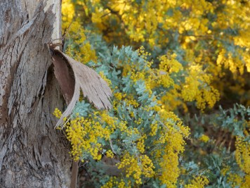wattle and bark