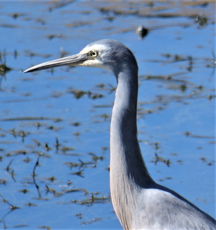 White-faced heron profile