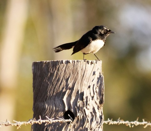 Willy wagtail (Rhipidura leucophrys)