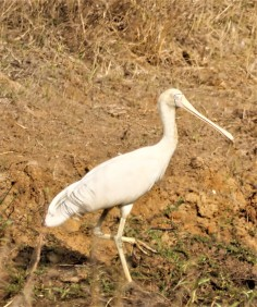 Male Yellow-billed spoonbill (Platalea flavipes)