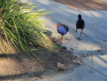 Purple swamphens collect rushes for nest building.