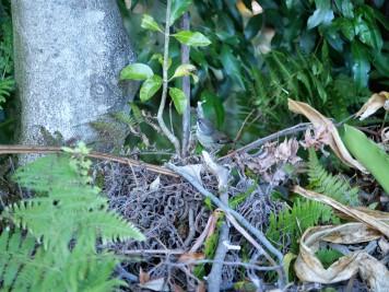 Scrub wren fledgling