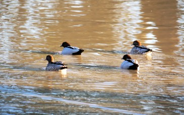Wood duck couples