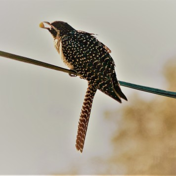 Female Eastern Koel
