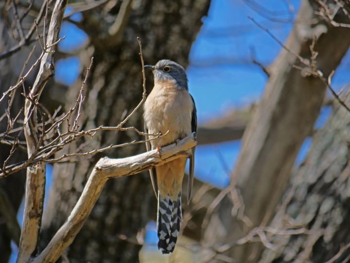 Fan tailed cuckoo.jpg