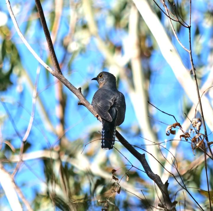 fan tailed cuckoo 2.jpg