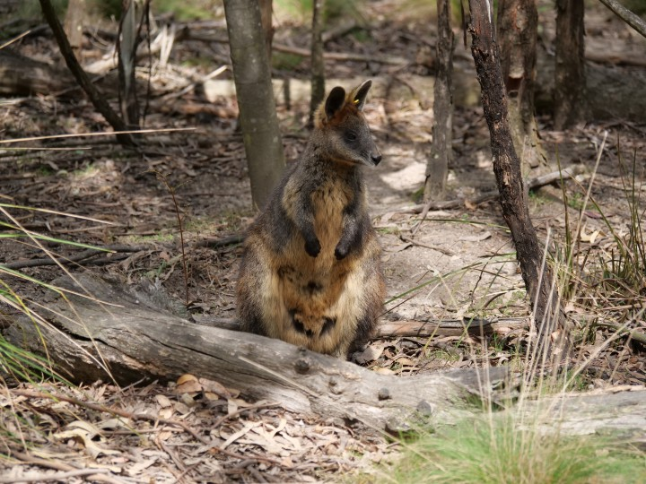 swamp wallaby 3