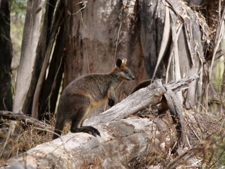 swamp wallaby again