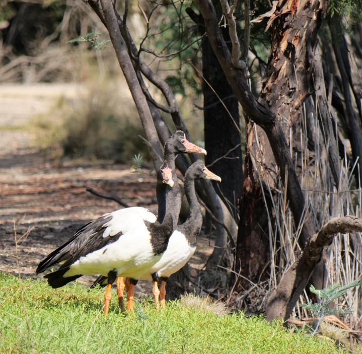 Magpie Geese.jpg