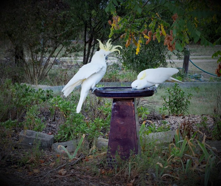 cockatoos drinking