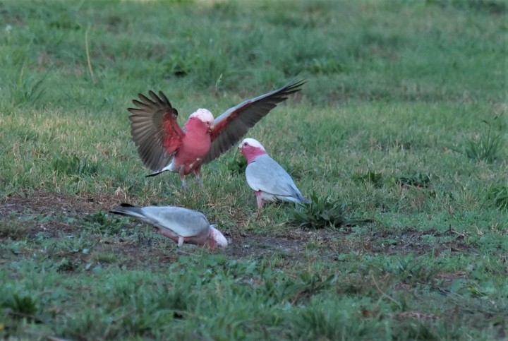 Don't be a galah
