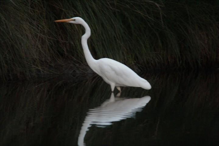 Eastern Great Egret.jpg