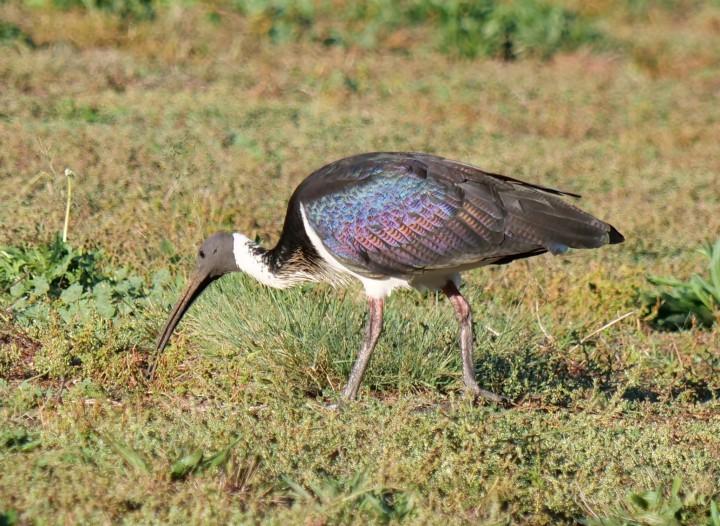 straw-necked ibis