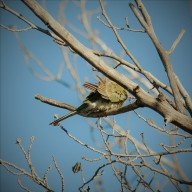 female red-rumped grass parrot