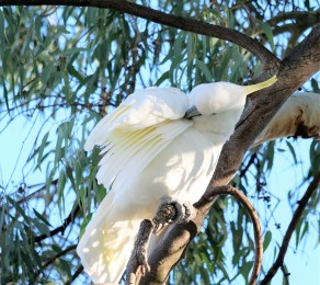 sulphur-crested cockatoo (1)