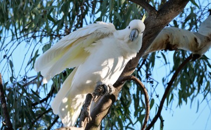 sulphur-crested cockatoo2 (1)