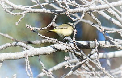 yellow-rumped thornbill2