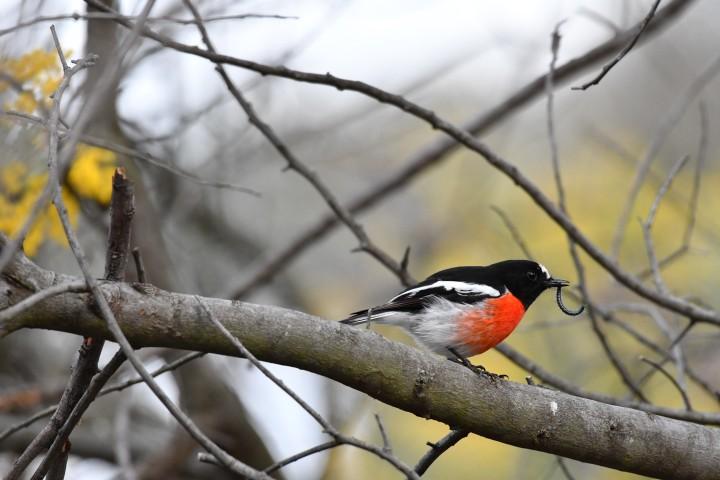 male scarlett robin