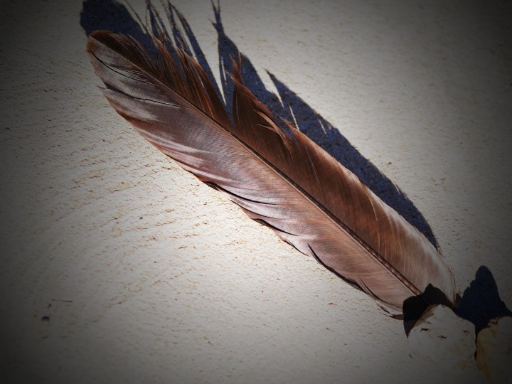 wedge-tailed eagle feather