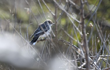 Female white-winged triller