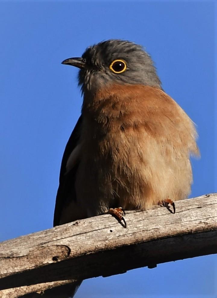 fantail cuckoo
